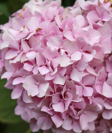 Hortensia is grown in gardens as ornamental plants