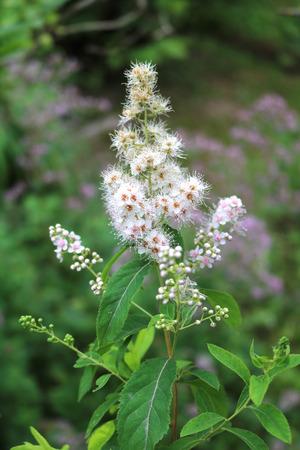 Spirea deciduous ornamental shrub of the family of roses