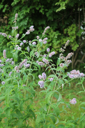 Peppermint perfumed herbaceous plant