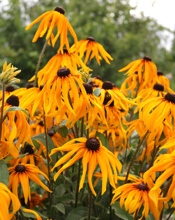 Gaillardia ornamental plants of the family of asters Stock Photo