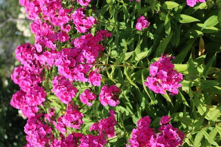 Phlox beautiful flowering garden herbaceous plants Stock Photo