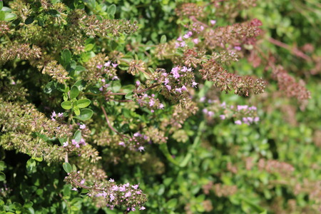 Thyme low-scented aromatic shrubs are used as a seasoning and tea