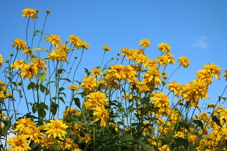 Rudbeckia golden ball beautifully blooms herbaceous plant Compositae