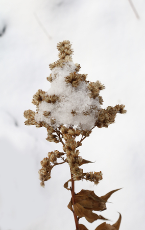 dry plant goldenrod under the snow