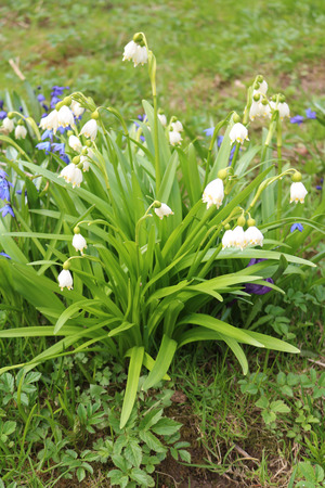 White flowered summer leucojum aestivum perennial bulbous plants stock photo white flowered summer leucojum aestivum perennial bulbous plants with prickly leaves leafless floral arrow mightylinksfo