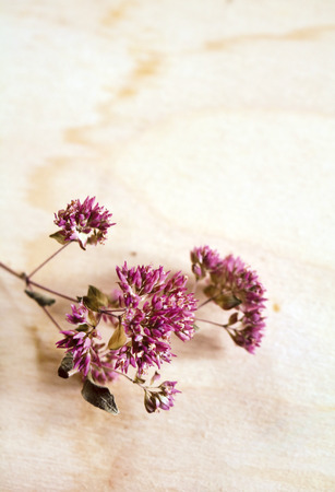 Dried oregano - a perennial plant popular in Italy, called oregano Banque d'images