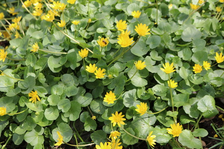 Spring chistyak, or Buttercup spring (Ficaria v?rna) - yellow flower, herbaceous plant