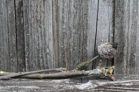 old moldy and lichen covered apple tree branches with a dried apple on the fence