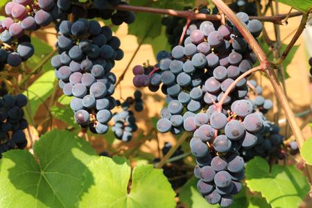 Isabella is an American grape variety, a natural hybrid (Vitis labrusca Vitis vinifera)