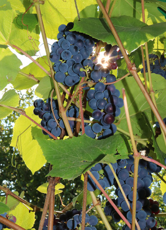 Isabella is an American grape variety, a natural hybrid (Vitis labrusca Vitis vinifera)