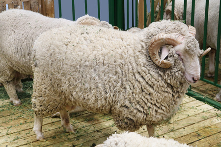 Black sheep domestic merino sheep - a hoofed mammal with thick hair and edible meat