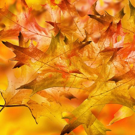 autumn background with some integrated oak leaves photo