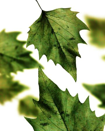 birch leaves on a solid white background Stock Photo - 3782509