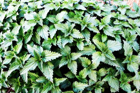 nettles background with some shades areas in it Stock Photo - 5659420