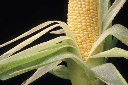energies: Close-up of ear of corn with leaves peeled down