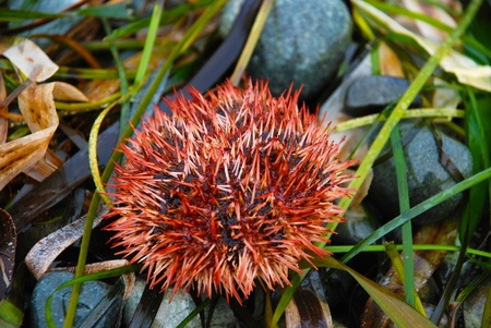 prick: Sea urchin red