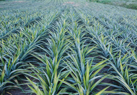 Pineapple fruit farm growing  photo