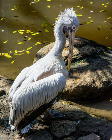 A white pelican portrait Stock Photo - 25112579