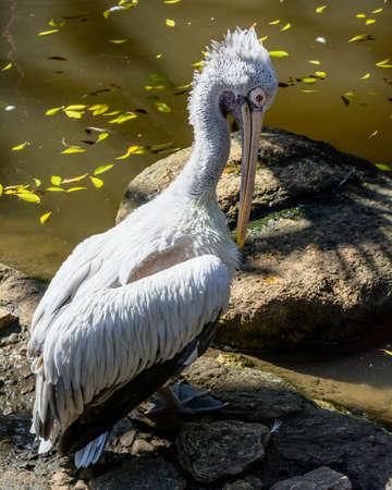 A white pelican portrait Stock Photo - 25112579