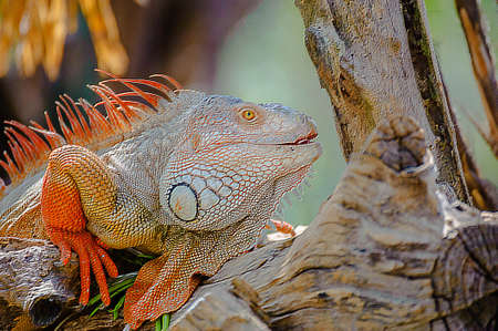 Orange head Iguana with vivid colors close up in the zoo  Iguana iguana  photo