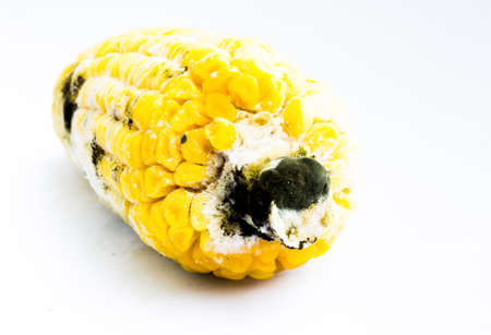 spoilage: Rotten boiled corn with fungus isolate on white