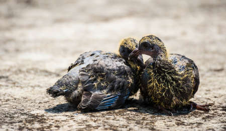 oppressed: Baby birds on desert