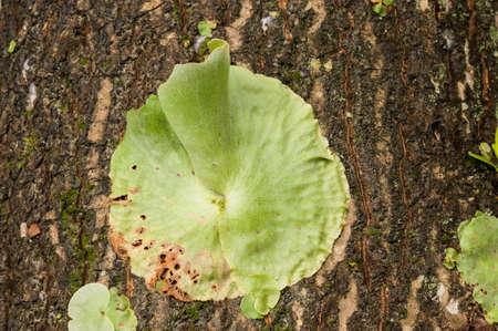 platycerium: Platycerium Staghorn Ferns Stock Photo