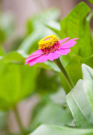 cav: Zinnia flower or Zinnia violacea Cav in the garden Stock Photo