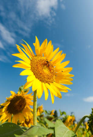 Sunflower with Humble Bee on a warm summer day. photo