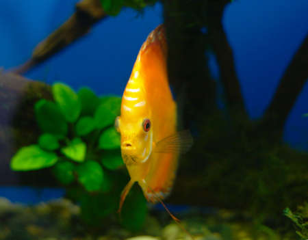 Orange discus fish in tank (close-up photo) photo