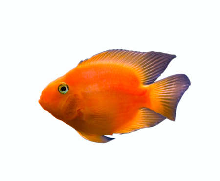 gold fish isolated on white background photo