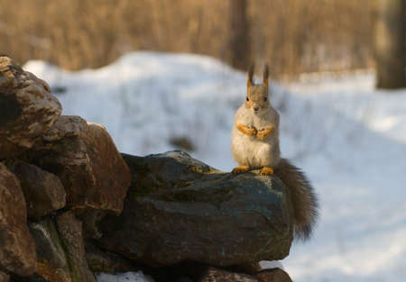 grey squirrel sitting on the stone photo