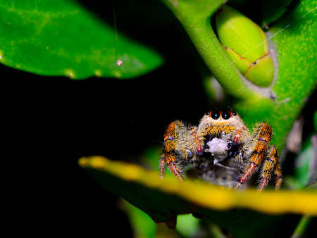 salticidae: Jumping spider (salticidae) eating a prey Stock Photo