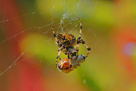 prey: A spider eating a prey on its web Stock Photo