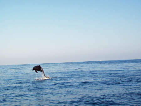 Bottlenose dolphin jumping in the sea photo