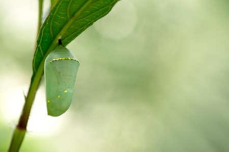 oruga: Crisálida de la mariposa monarca, hermoso capullo