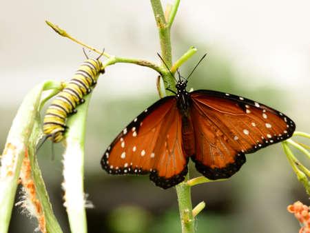 Queen butterfly Danaus gilippus and caterpillar