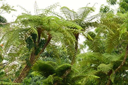 helechos: Los helechos arborescentes Foto de archivo