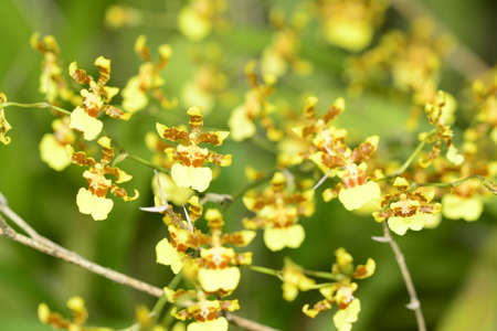 Yellow and brown orchid flower
