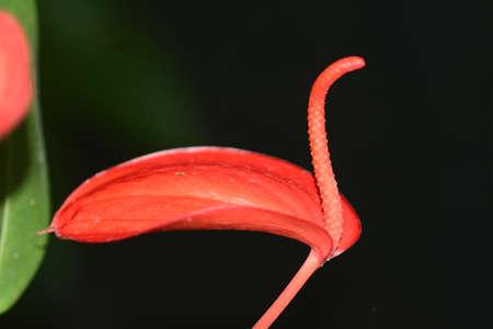 black swan: Red anthurium swan like, tailflower, flamingo flower