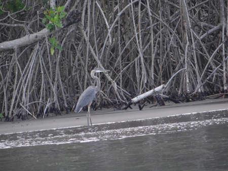 coastline: Great blue heron Ardea herodias  in mangrove coastline in Chiapas, Mexico
