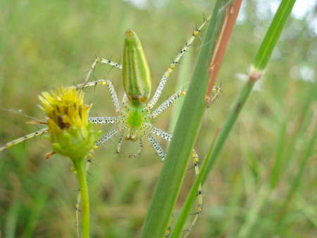 seeks: Green lynx spider Peucetia viridans on yellow flower and grass