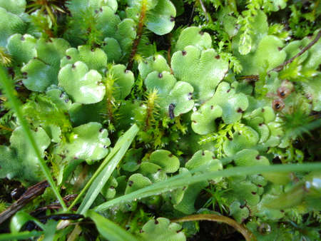 Liverwort plants growing on a water spring