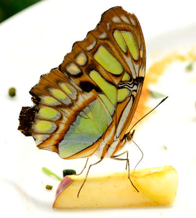 malachite: Malachite butterfly Siproeta stelens eating apple in a butterfly house