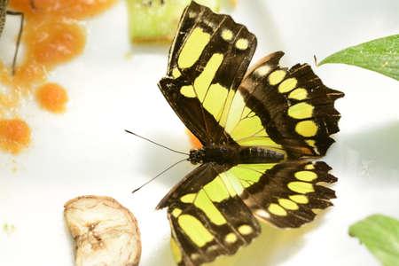 conservatory: Malachite butterfly Siproeta stelens on butterfly house Stock Photo