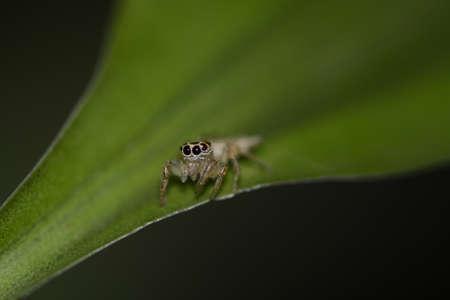 salticidae: Jumping spider (salticidae) on a leaf Stock Photo