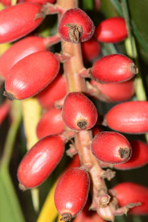 exotic fruits: Red exotic fruits