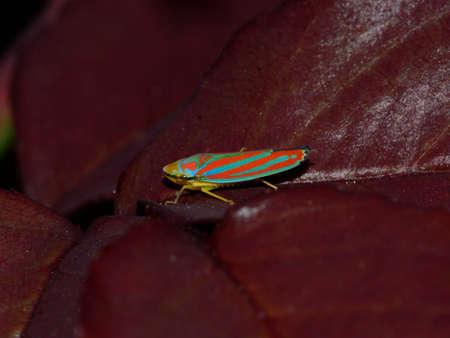 entomological: Candy striped leafhopper Graphocephala coccinea, Cicadellidae
