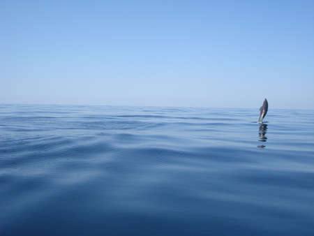 Bottlenose dolphin jumping in the sea
