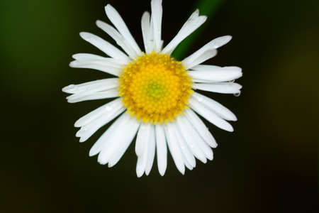 widlife: White daisy
